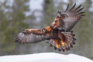 Maakotka 1997 (Aquila chrysaetos) Golden Eagle Utajarvi Finland December 2008